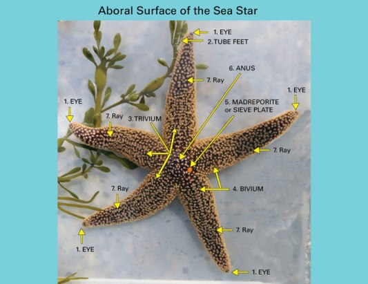 Sea-Star-Anatomy_Real2